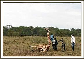 The giraffe gets back to its feet after the snare is removed