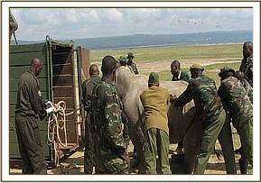 The rhino is loaded into a crate to be transported to a boma