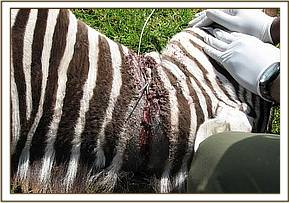 The snare was cutting into the foals neck