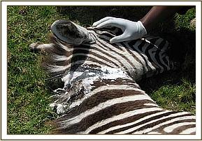 The wound caused by the snare is cleaned