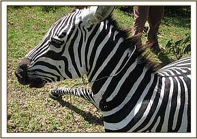 The snare was loose around the zebra's neck
