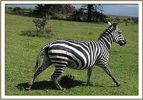 The zebra after the snare is removed
