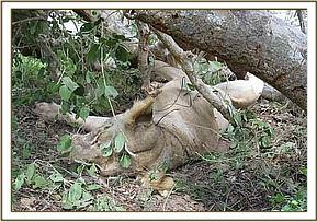 dead snared lioness