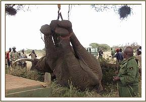 The elephant is lifted onto the truck