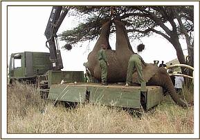The elephant is lowered gently onto the truck
