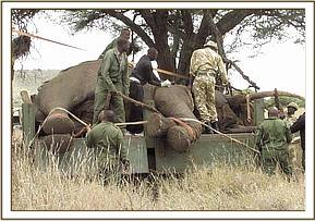 Ropes are used to make sure the elephant is secure