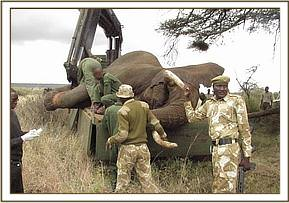 The elephant is secured on the truck