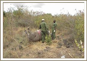 This rhino died as a result of poaching