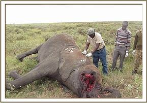 The results suggested the elephant could have died from a viral infection