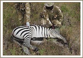 The zebra had a severe injury to the leg