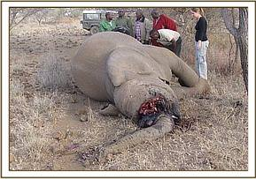 A dead elephant was reported by some herders