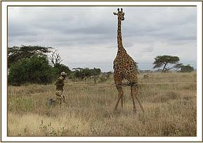 The giraffe was darted and lowered gently with ropes