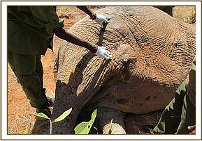 The elephant had a nasty wound to the leg