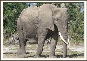 The elephant with a hernia