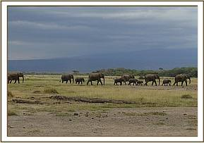 Elephants crossing Amboseli National Park