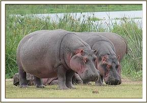 Hippos graze in the National Park