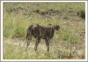 This lone cheetah appeared severely affected by mange with evident alopecia on his belly and neck