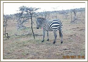 This zebra was seen by the Conservancy Rangers with a wire snare around his neck