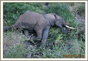 This was a grave prognosis and there was no way this elephant could have survived