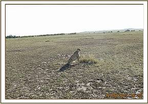 This cheetah was reported to have collided with a tourist car whilst in pursuit of an impala