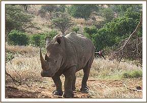 he white rhino had fight wounds spread generally across the whole body