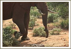This male elephant had a severe trunk injury