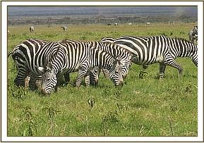 The zebra was seen limping severely on the right hind limb