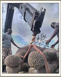 The elephant was darted and loaded on a truck for relocation