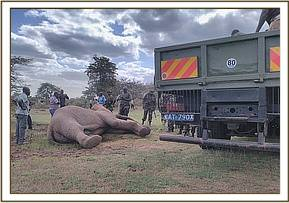 an elephant had strayed from Mwea National Reserve and was wandering through villages