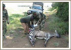 Broken leg zebra being looked at by the Vet