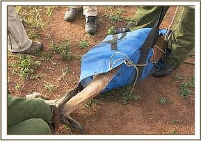 The net is used to restrain the gazelle