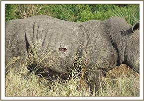 Certain parasites cause big wounds on rhinos