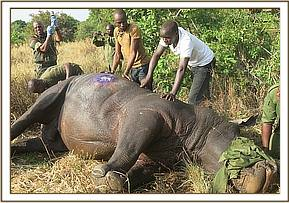 The vet team ready to revive the rhino