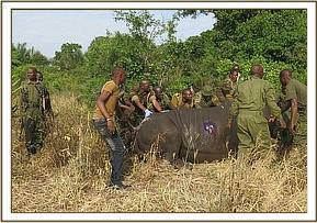The team help the rhino into position