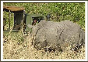 The rhino with a parasite injury is located