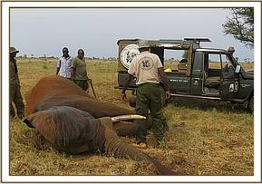 The vet team examine the elephant