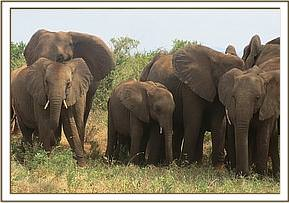 An elephant calf with a snare wound is seen in a herd