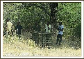 The leopard is released into Meru National Park