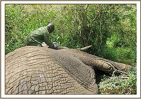 The vet ready to revive the elephant