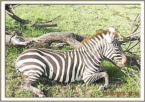 The zebra requires treatment and is immobilised