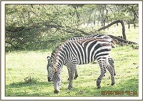 A zebra is seen with a snare around the leg