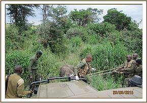 A buffalo is anaesthetised for treatment