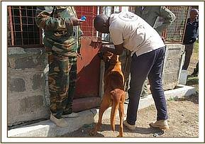 A security dog is treated for skin lesions