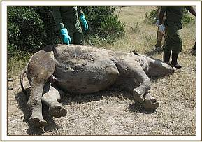 a  rhino postmortem at Solio Ranch