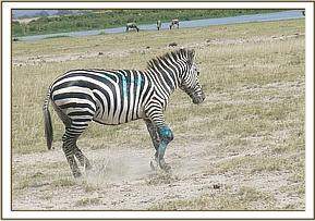 The zebra following treatment