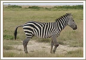 A zebra is seen with a knee injury