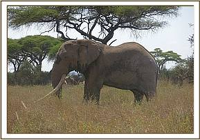 The elephant following treatment