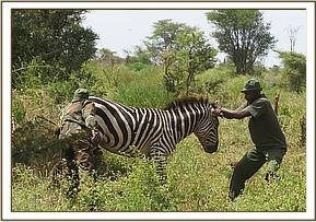 The zebra is sedated but remains upright