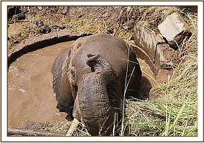 The elephant is trapped in a well