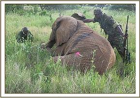 The immobilized darted elephant